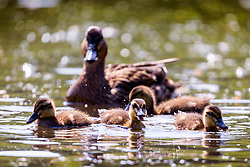 © Licensed to London News Pictures. 21/05/2018. Leeds UK. Ducklings play in the sunshine at Golden Acre park in Leeds this morning. Photo credit: Andrew McCaren/LNP