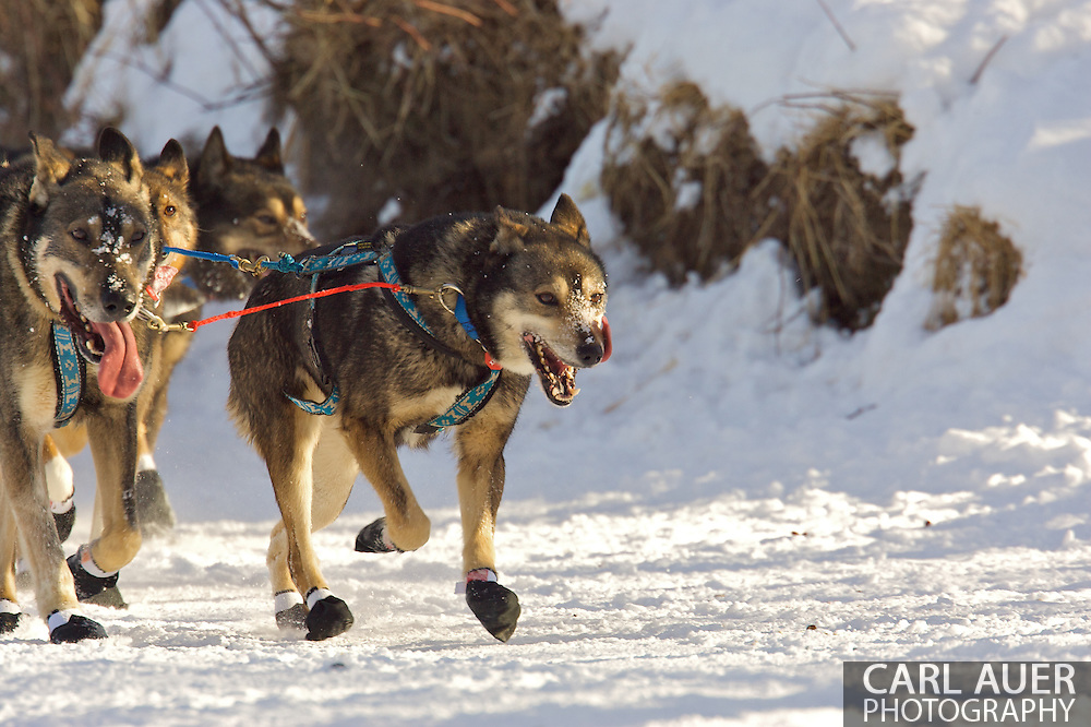 March 7th, 2009: Anchorage, Alaska - Dogs of the 2009 Iditarod.