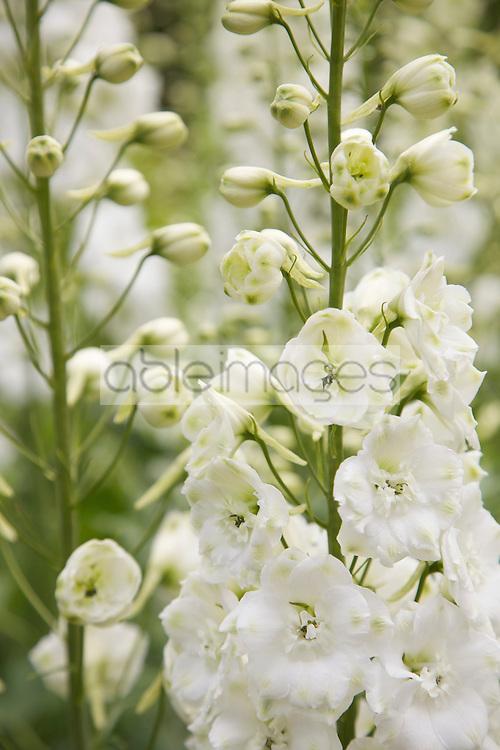 White Delphinium Flowers