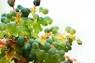 A multiple exposure of Oregon Grape (Mahonia aquafolium).