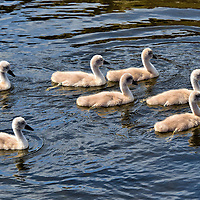 Mute Swan Cygnets Swimming in Kristiansand, Norway <br />