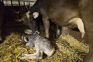 SCHWEIZ - MEISTERSCHWANDEN - Eine Kuh bringt ein Kalb zur Welt, hier trocknet die Mutter das frischgeborene Kalb - 06. Februar 2017 © Raphael Hünerfauth - http://huenerfauth.ch