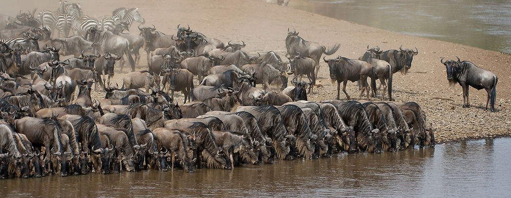 Wildebeests lining up to drink before crossing Mara River, Kenya.