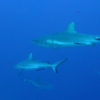 Grey Reef Sharks patrol the Great Barrier Reef off of Cairns, Australia.