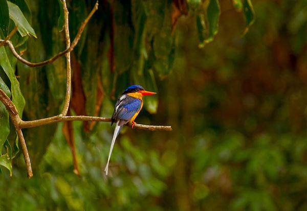 Azure Kingfisher Alcedo azureus