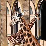 Gorillas, giraffes and squirrel monkeys enjoy Halloween treats and Smashing pumpkins at ZSL London Zoo on 25 October 2018.
