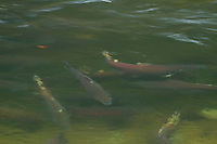 Salmon waiting to spawn in Fall Creek, Oregon. Salmon feed entire ecosystems when they return to their natal rivers. From animals to humans to insects to streamside vegetation.
