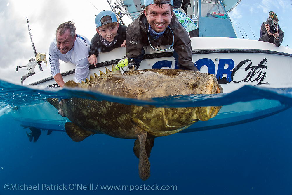 Sport Fishermen quickly release an endangered and protected Goliath Grouper, Epinephelus itajara, caught while sport fishing offshore Palm Beach, Florida, United States