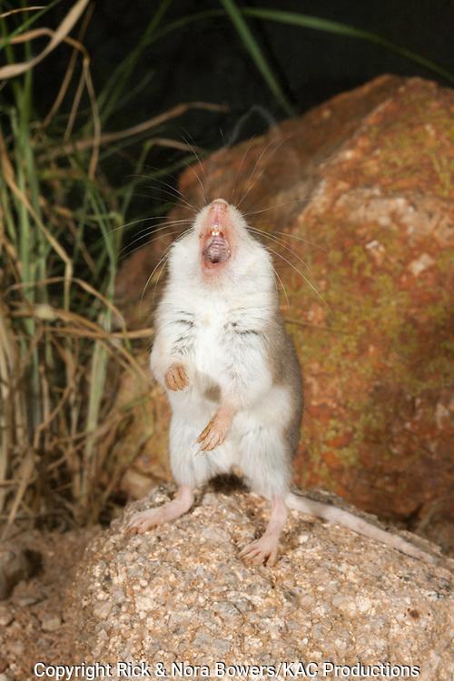 "Southern Grasshopper Mouse .Onychomys torridus.Elephant Head, Santa Cruz County, Arizona, United States.21 August       Adult vocalizing or ""howling""      Muridae"