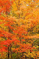 Maple Trees Peak Fall Color at Smugglers Notch, Mount Mansfield State Forest, Vermont