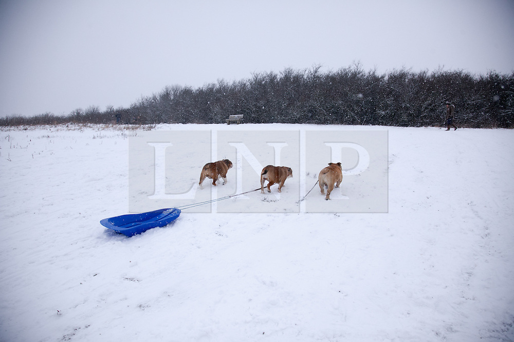 © London News Pictures. 20/01/2013. Bluebell Hill, Chatham, Kent. Three pet bulldogs drag the family sledge back up the the snowy slopes of Bluebell Hill in Chatham, Kent. Continued snowy weather finally hits Kent and is forecast for the next 48 hours. Picture credit should read Manu Palomeque/LNP