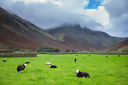 Flock of traditional local Herdwick Sheep in meadow by Kirk Fell (left) and Great Gable mountains in the Lake District, Cumbria, UK