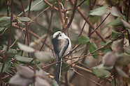 Staartmees | Long-tailed Tit