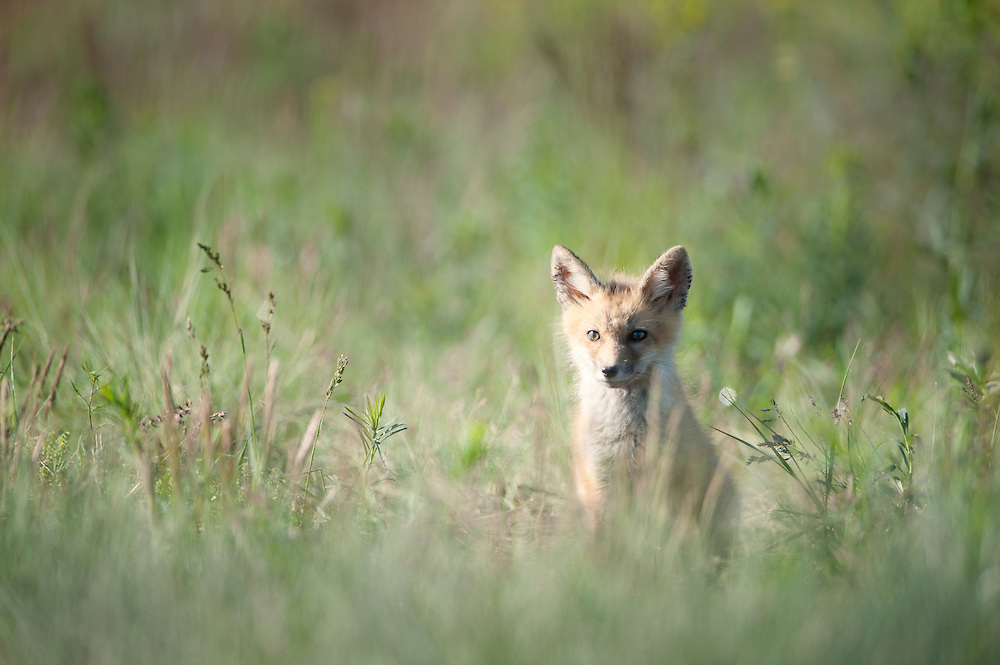 Red Fox Kit (Vulpes vulpes) in Spring grass, Missoula, Montana
