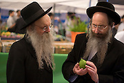 Israel, Bnei Brak, Closely examining an Etrog at the Sukkoth 4 species market.