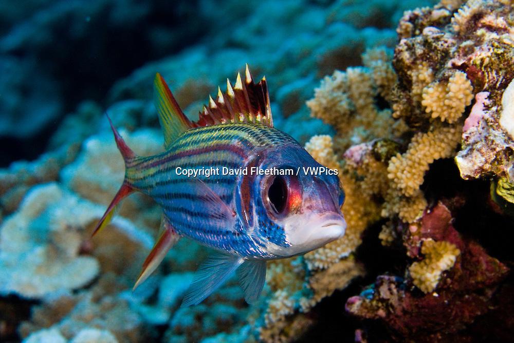 Spotfin squirrelfish, Neoniphon sammara, Hawaii.