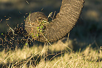 African Elephant trunk pulling grass, Gondwana Game Reserve, Western Province, South Africa