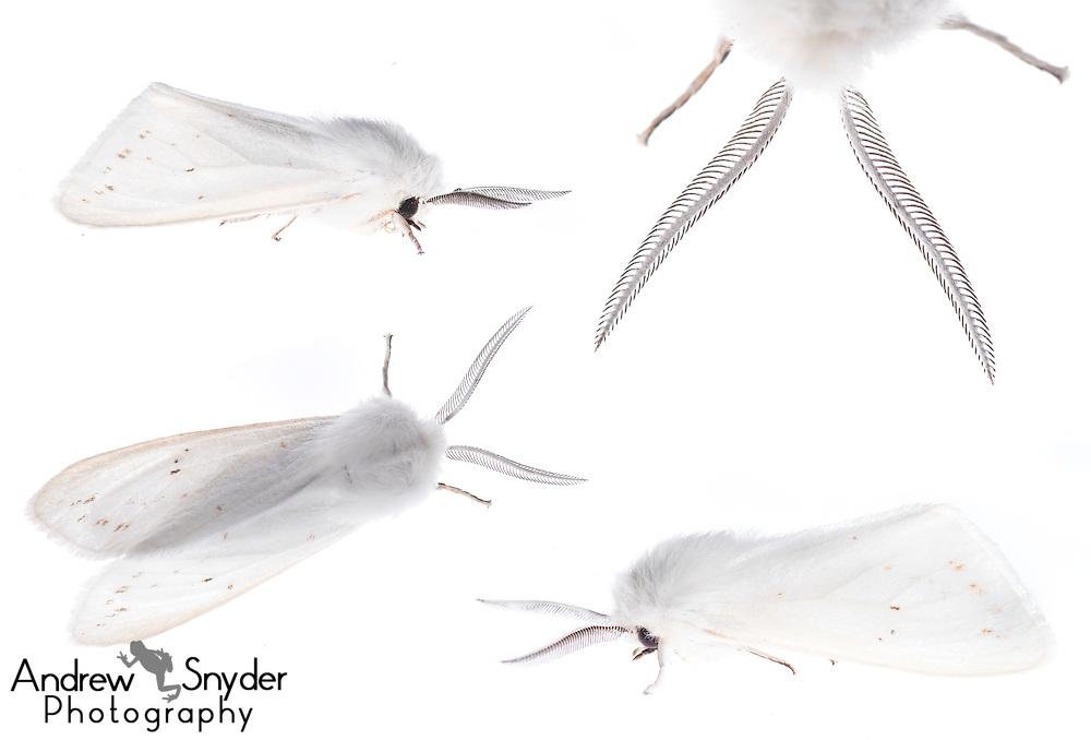 Tiger moth (Spilosoma sp.) composite - Oxford, Mississippi
