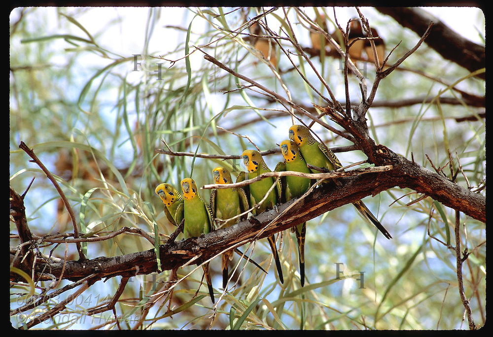 Six budgerigar birds perch along branch in Tanami Desert.  Australia