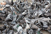 A feeding frenzy of pigeons climbing all over each other on the pavement in front of Marble Arch, Central London. United Kingdom. <br />  (photo by Andrew Aitchison / In pictures via Getty Images)
