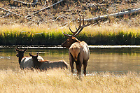 A Bull Elk rests by the river beside two cows in the afternoon sun.