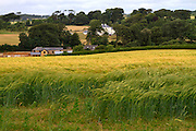 Wheat field in the South Devon countryside