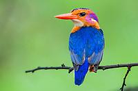African Pygmy Kingfisher, iSimangaliso Wetland Park, KwaZulu Natal, South Africa