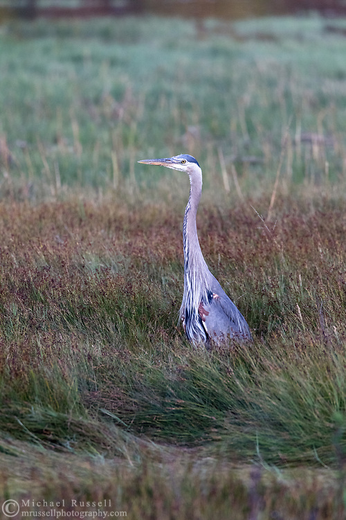 A Great Blue Heron (Ardea herodias) stands on alert in the marshes at Blackie Spit in Surrey, British Columbia, Canada.