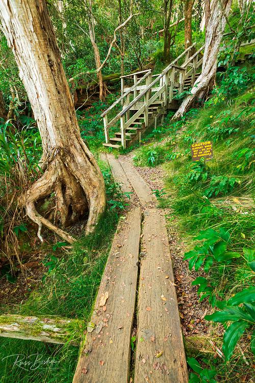 Boardwalk on the Alakai Swamp Trail, Kokee State Park, Kauai, Hawaii USA