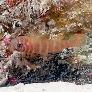Rusty Goby inhabit reefs and areas of rocky rubble, often perch upside-down on the ceiling of small recesses or under rocks in Tropical West Atlantic; picture taken Key Largo, FL.