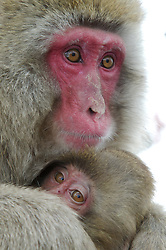 Japan, Jigokudani Monkey Park. A baby snow monkey clings to its mother. Credit as: © Josh Anon / Jaynes Gallery / DanitaDelimont.com