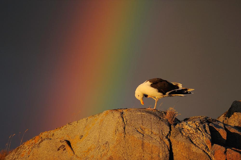 Greater black-backed gull, Larus marinus, The Living Sea, North Atlantic, Flatanger, Nord-Trondelag, Norway
