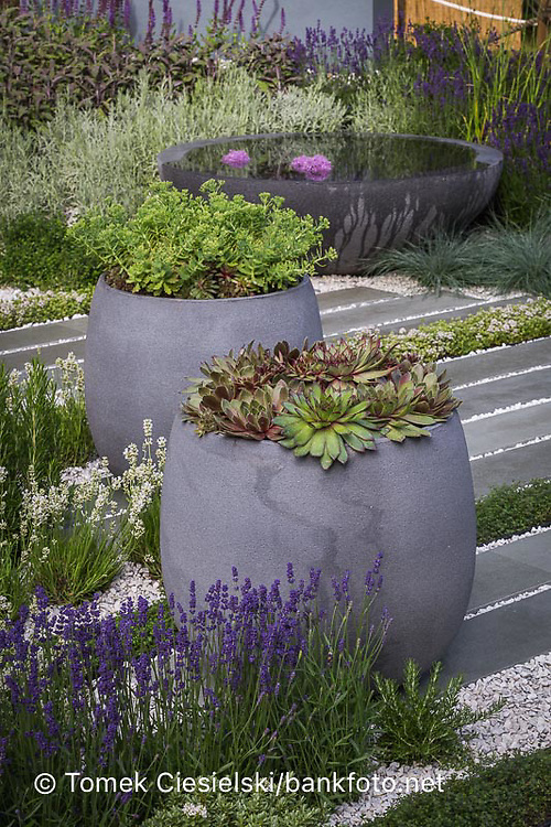 Sempervivum in modern grey planter, with purple and white lavenders