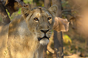 Sasan Gir - Monday, Jan 08 2007:  Head shot of female Asiatic Lion standing in the forest at Gir National Park. (Photo by Peter Horrell / http://www.peterhorrell.com)