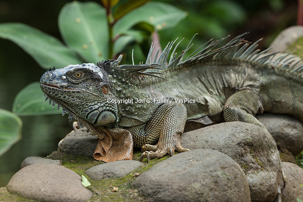 A very large adult Green Iguana, Iguana iguana, on a stone wall in a rainforest in Costa Rica. This lizard was more than 6 feet long and was shedding its skin.