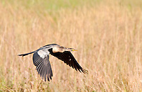 Anhinga in flight. The Anhinga (Anhinga anhinga), is a water bird of the warmer parts of the Americas. .It is a cormorant-like bird.