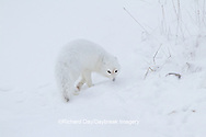 01863-01316 Arctic Fox (Alopex lagopus) in snow Chuchill Wildlife Mangaement Area, Churchill, MB Canada