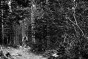 SHOT 8/16/11 1:00:34 PM - A mountain biker navigates his way through a rocky section of the Peaks Trail in Breckenridge, Co. Available for hiking, and mountain biking, the 7.82 mile Peaks Trail travels downhill from the Breckenridge trailhead toward the Frisco trailhead. Established in 1859, the historic town of Breckenridge is a home rule municipality that is the county seat of Summit County, Colorado, United States. As of the 2010 Census, the town had a population of 4,540. The town also has many part-time residents, as many people have vacation homes in the area. Breckenridge is also a popular ski resort during the winter months and summer in Breckenridge attracts outdoor enthusiasts with hiking trails, wildflowers, fly-fishing in the Blue River and mountain biking. (Photo by Marc Piscotty / © 2011)