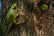 Rose-ringed parakeet (Psittacula krameri)<br /> Ranthambhore National Park. Rajasthan. INDIA<br /> RANGE &amp; HABITAT: Forests, wooded areas and culivated fields of almost the entire Indian sub-continent from the Himalayan foothills south. Plains and locally up to 2000m in the peninsular hills. Bangladesh, Pakistan, Sri Lanka and Myanmar.<br /> These are one of the most familiar Indian birds as they are as at home in the countryside as in villagess and towns. They are often found in large flocks and can be highly destructive to crops and orchards.  They nest in natural hollows in tree trunks, or one evacuated by other birds as well as rock scraps and wllls of buildings - ruined or occupied. Both sexes take care of the young.