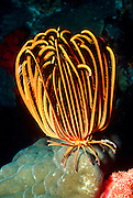 UNDERWATER MARINE LIFE WEST PACIFIC, generic sea lilies feather stars Crinoidea