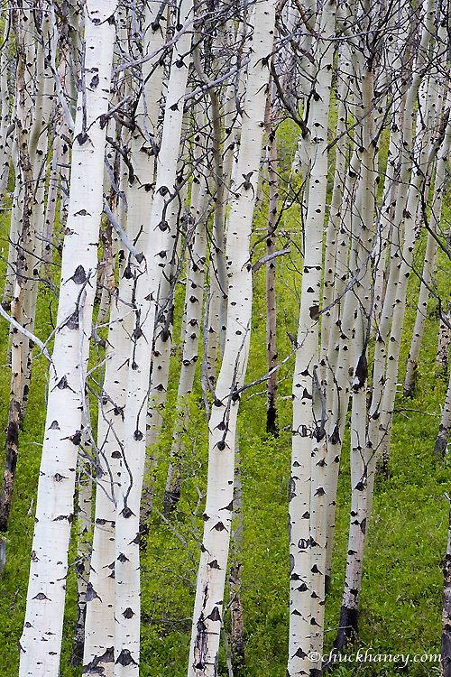 Grove of aspen trees near East Glacier Montana