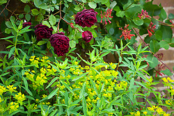 Rosa Guinée with Euphorbia ceratocarpa and Lonicera × brownii 'Fuchsioides' (Honeysuckle)
