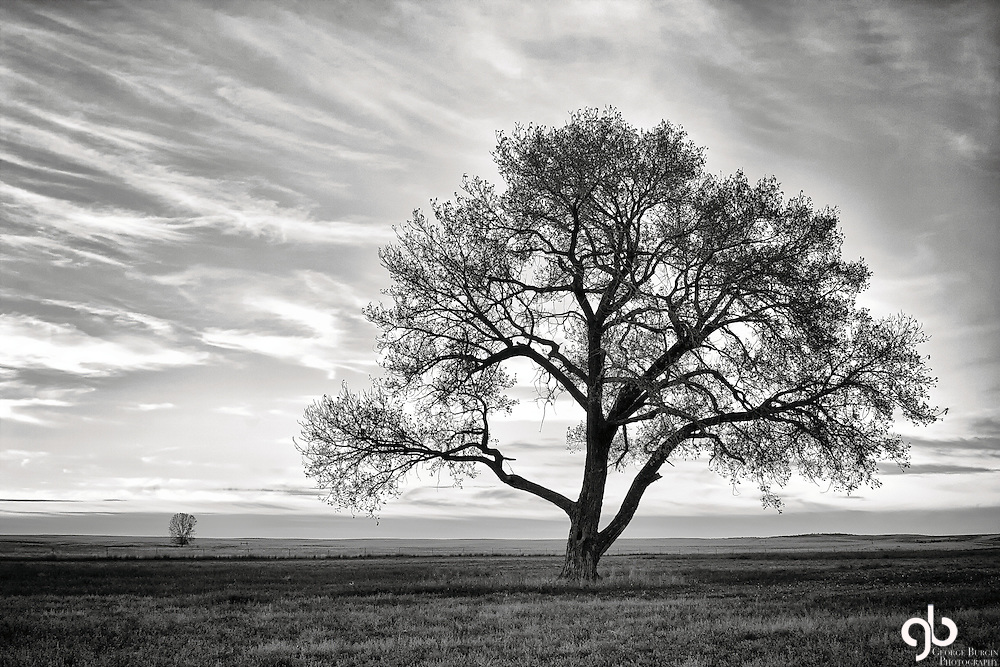 My favorite cottonwood on the Dover Ranch north of Billings.