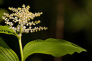 False Solomon's Seal Bloom - Columbia River Gorge National Scenic Area