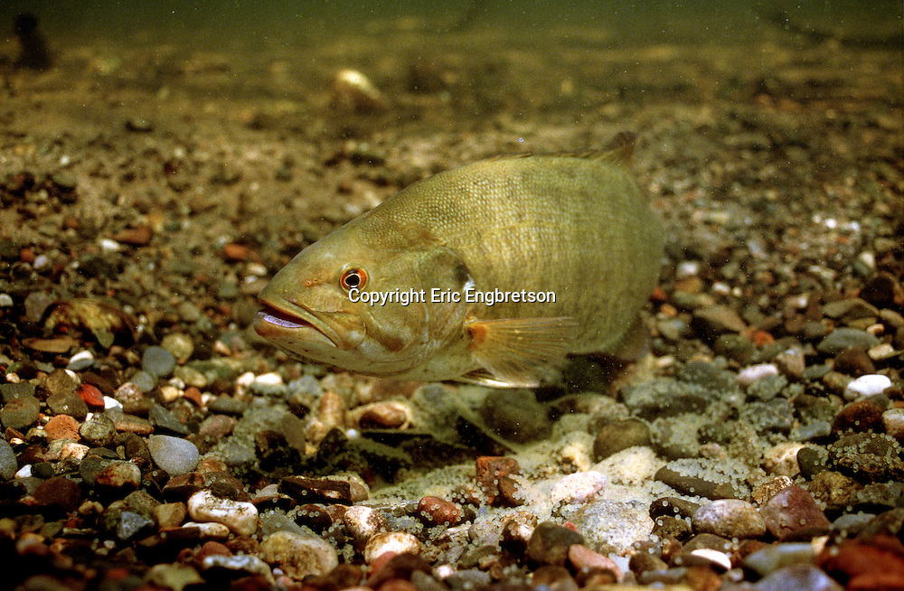 Smallmouth Bass on spawning bed guarding eggs<br /> <br /> ENGBRETSON UNDERWATER PHOTO