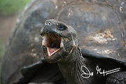 A Galapagos Giant tortoise opens its mouth wide.
