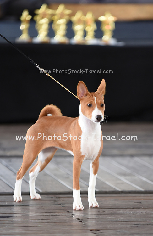 Young Female Basenji, pedigree sighthound dog Photographed at a dog show