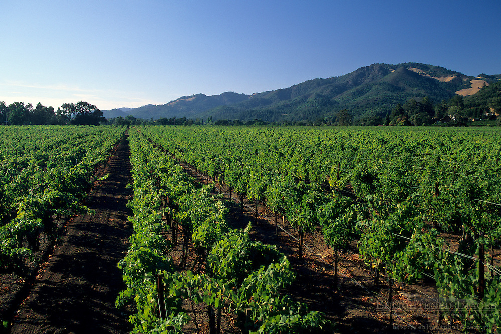Vineyards in the Sonoma Valley, near Kenwood, Sonoma County, California