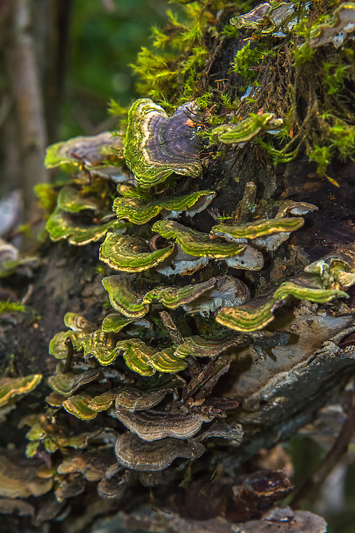 One of the world's most common mushrooms, the turkey tail mushroom is also one of the most beautiful. Typically found on rotting stumps, branches and decaying wood, these polypore mushrooms can be found in quite an amazing array of colors and hues. It has a long history of use by people, such as making blue and green dyes for clothing, being used to make a tasty tea and for a variety of medicinal uses. Recent clinical research shows that it may be useful for a variety of cancer treatments. This vibrant green colony was found growing alongside Mercer Slough in Bellevue, Washington.