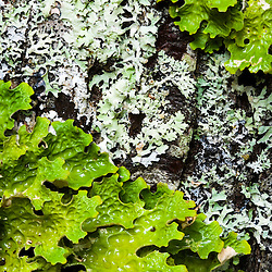 Lichens, Lobaria pulmonaria (green) and Anzia colpodes, on a maple tree in Maine's Acadia National Park...